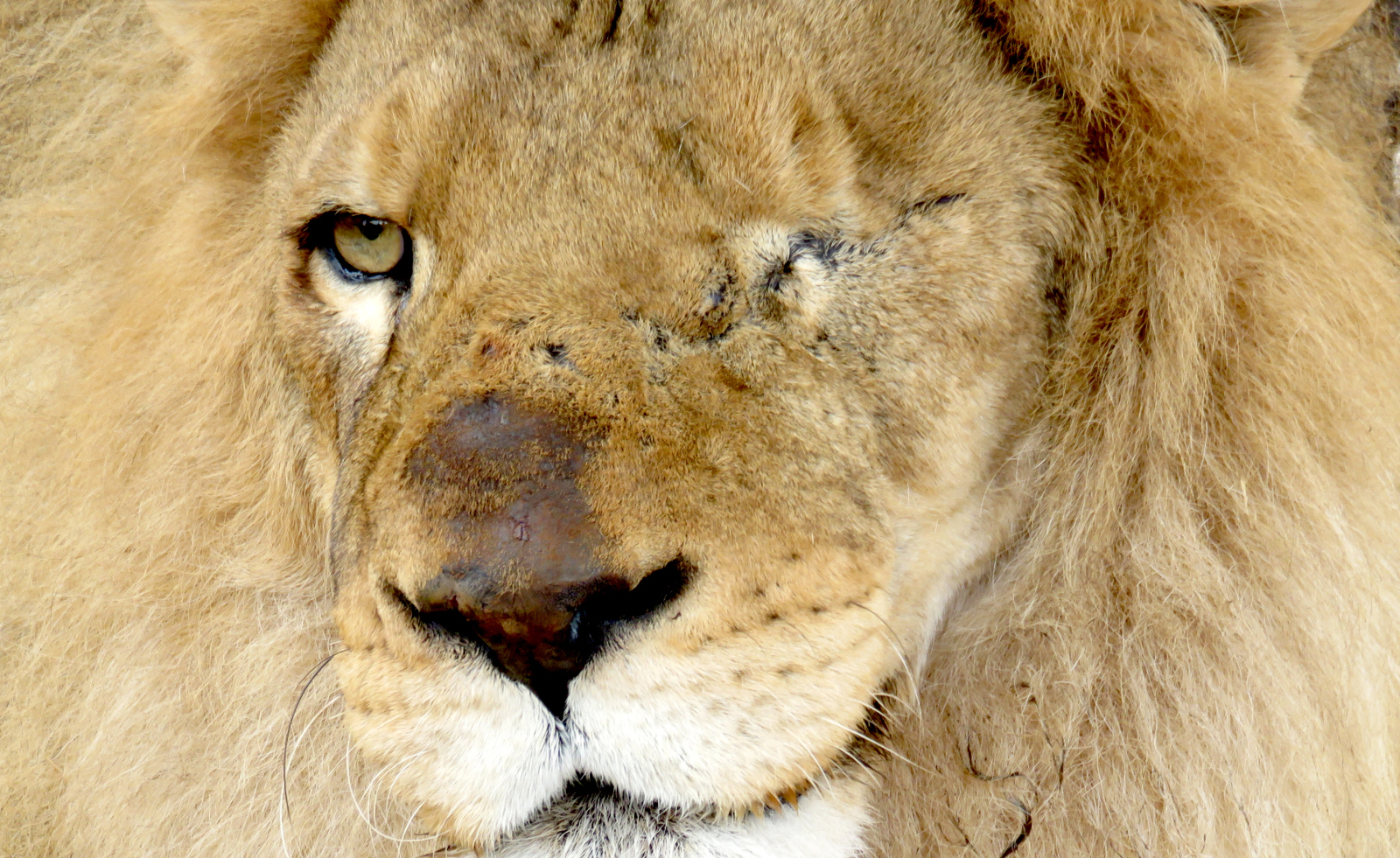 g Rescued lion Ricardo - destined for Africa