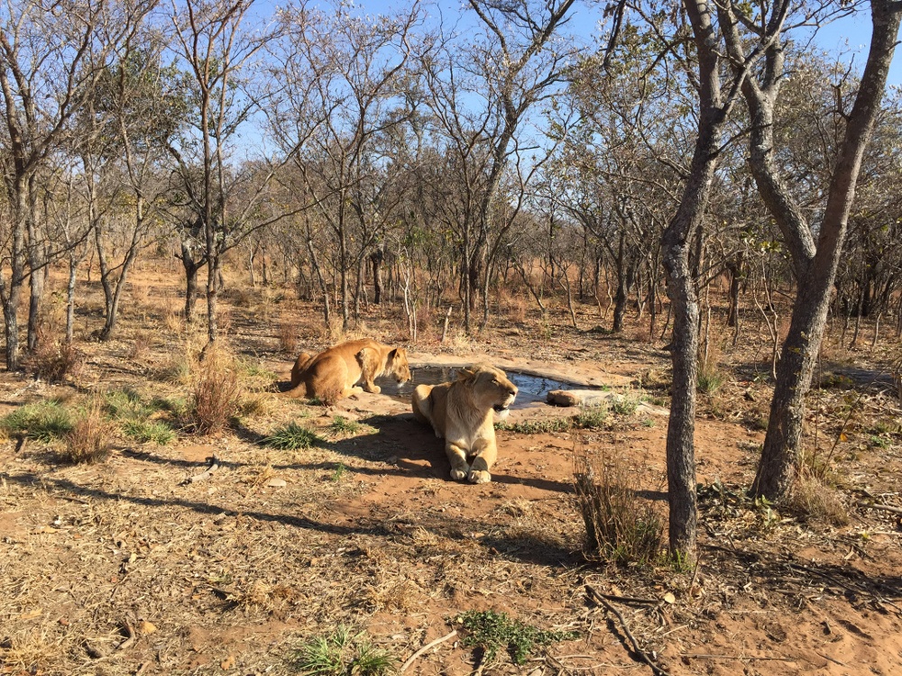 j Emoya Big Cat Sanctuary - destination for Peru lions