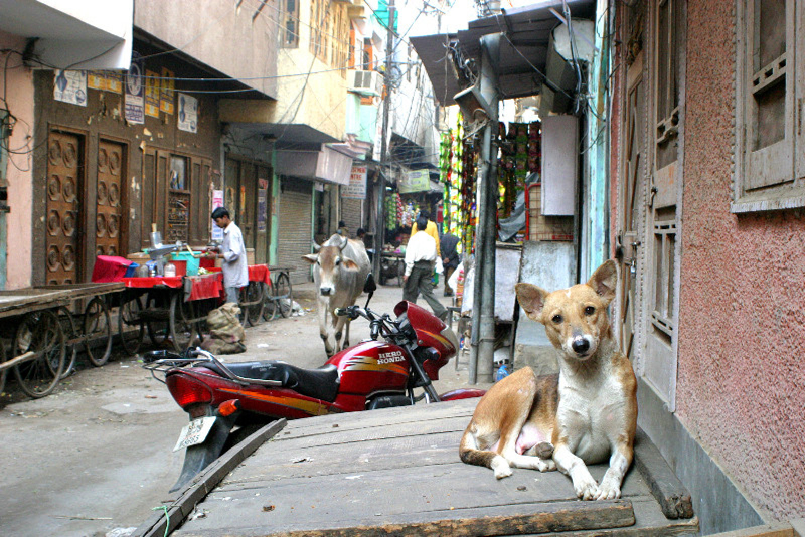 a first hand look at rescuing and returning street dogs in india