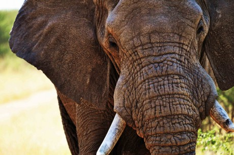 What Elephant Extinction Has to do With the Disappearance of the World's Forests