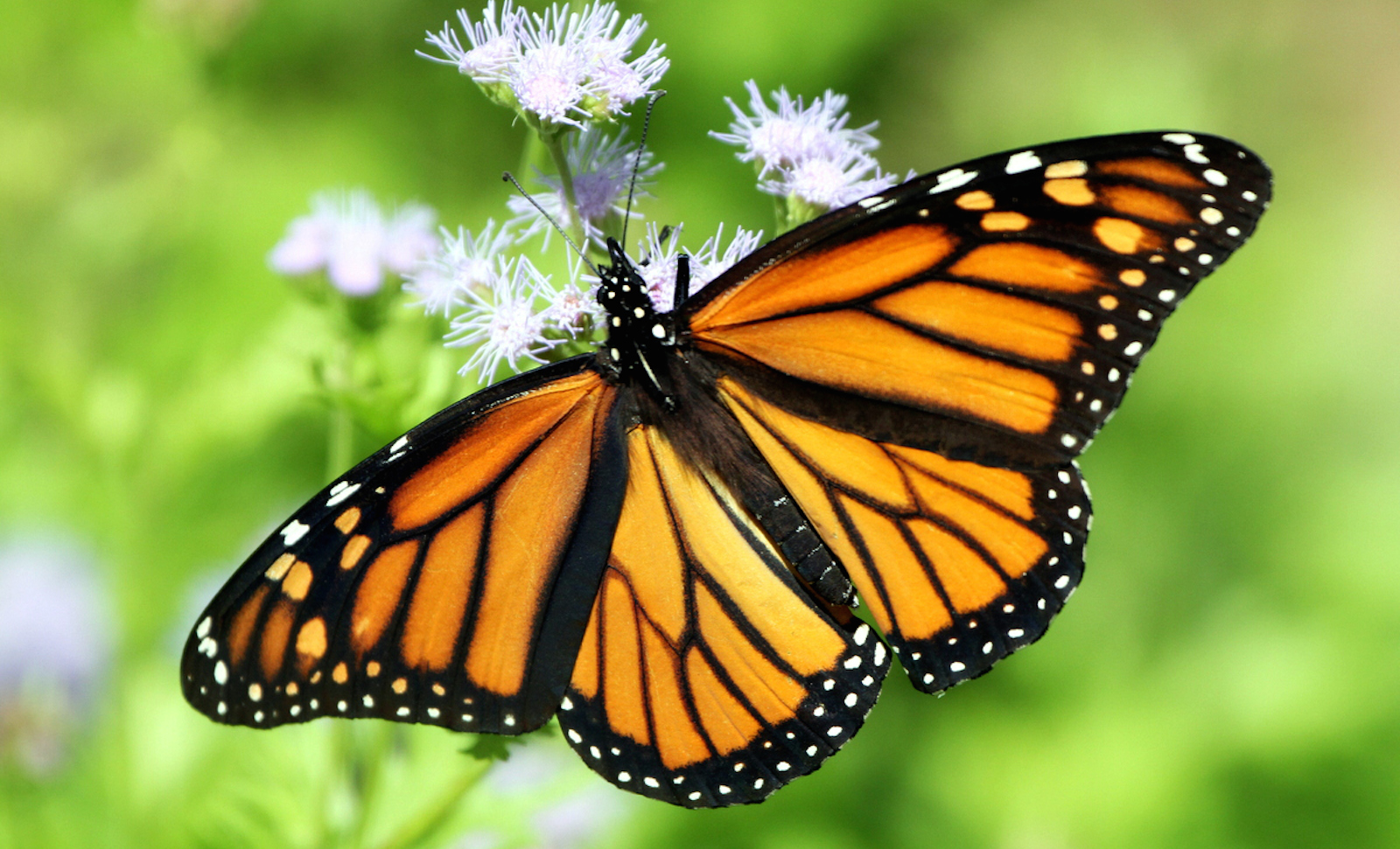 how the butterfly can shape an ecosystem and why we need to