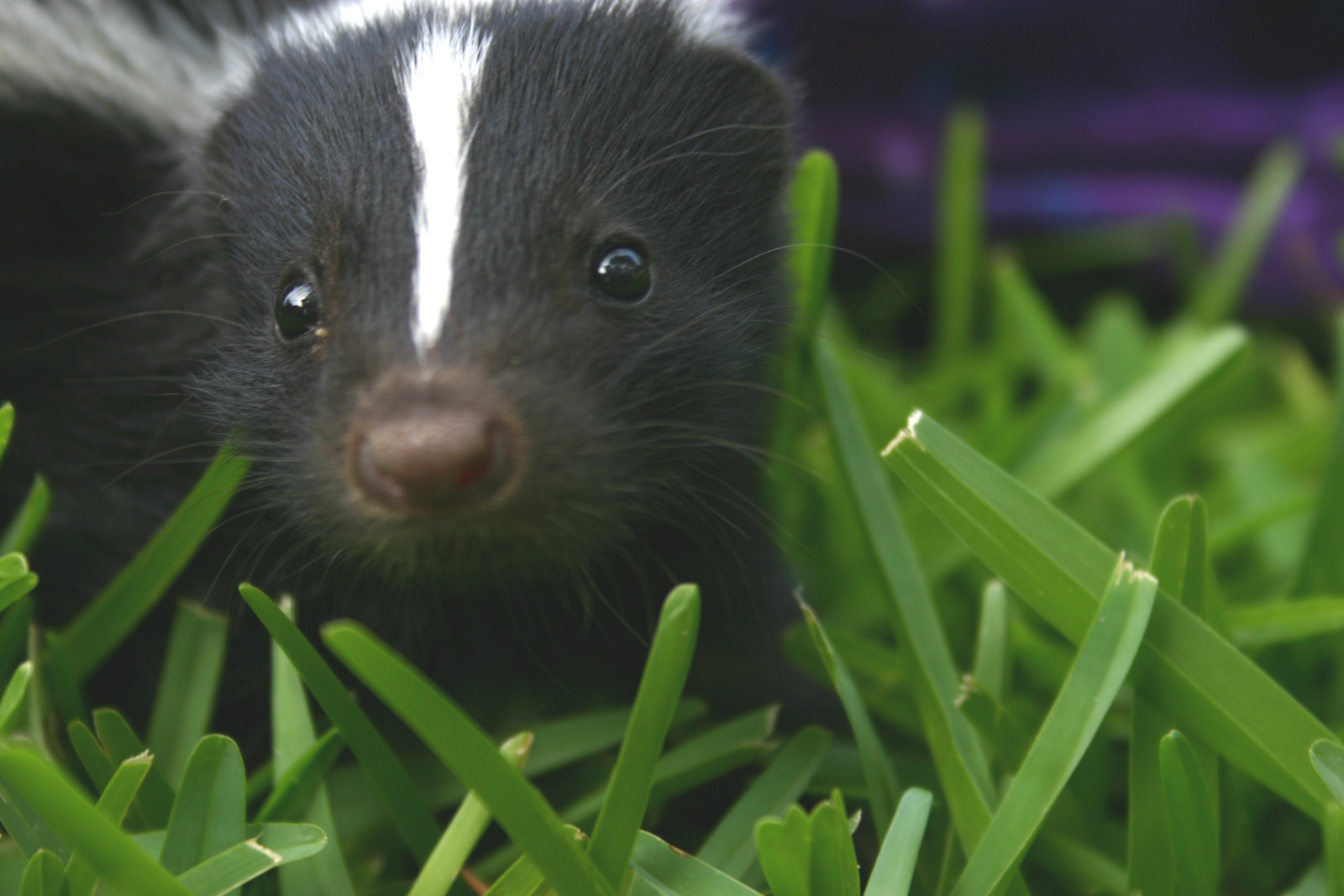how to keep your pets from getting sprayed by skunks and what to