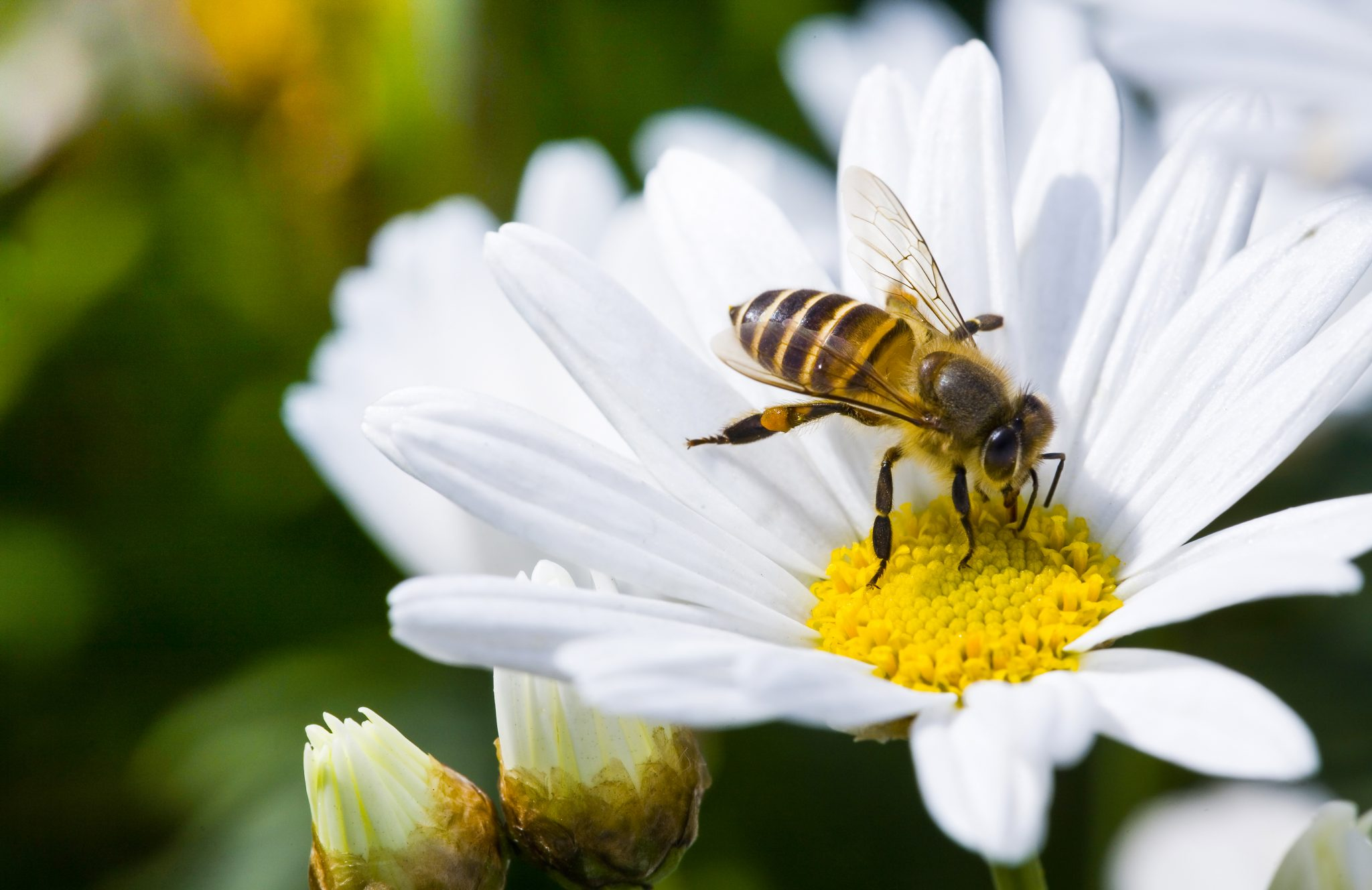 Types of Flowers that are Vital to Honeybees