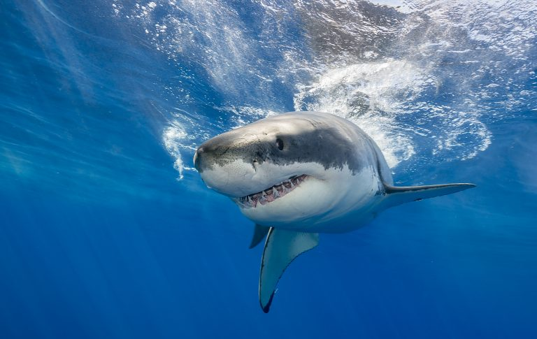 The Terrifying Truth: Our Future is Tied to the Future of Sharks