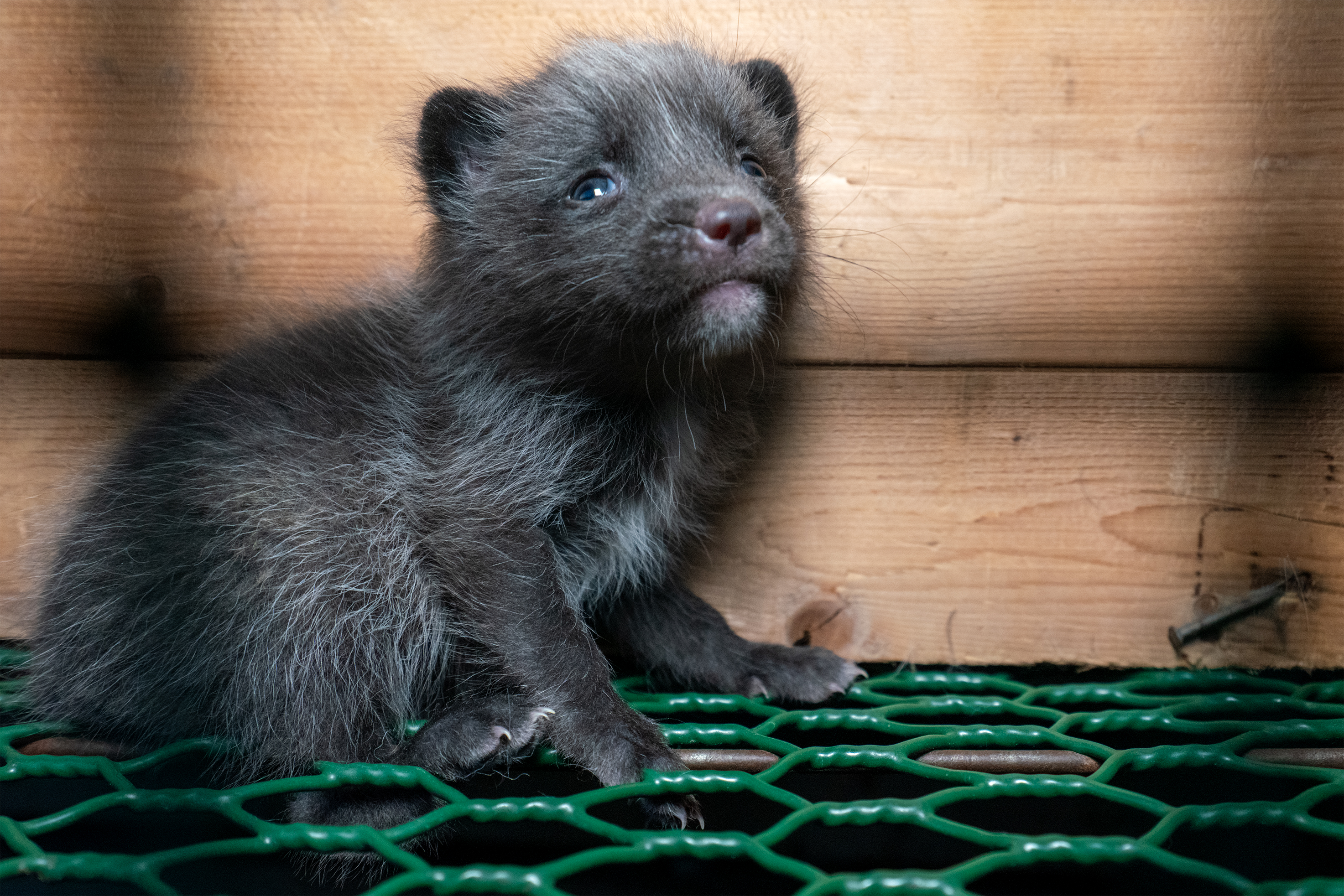 Fox in cage on a fur farm in Finland