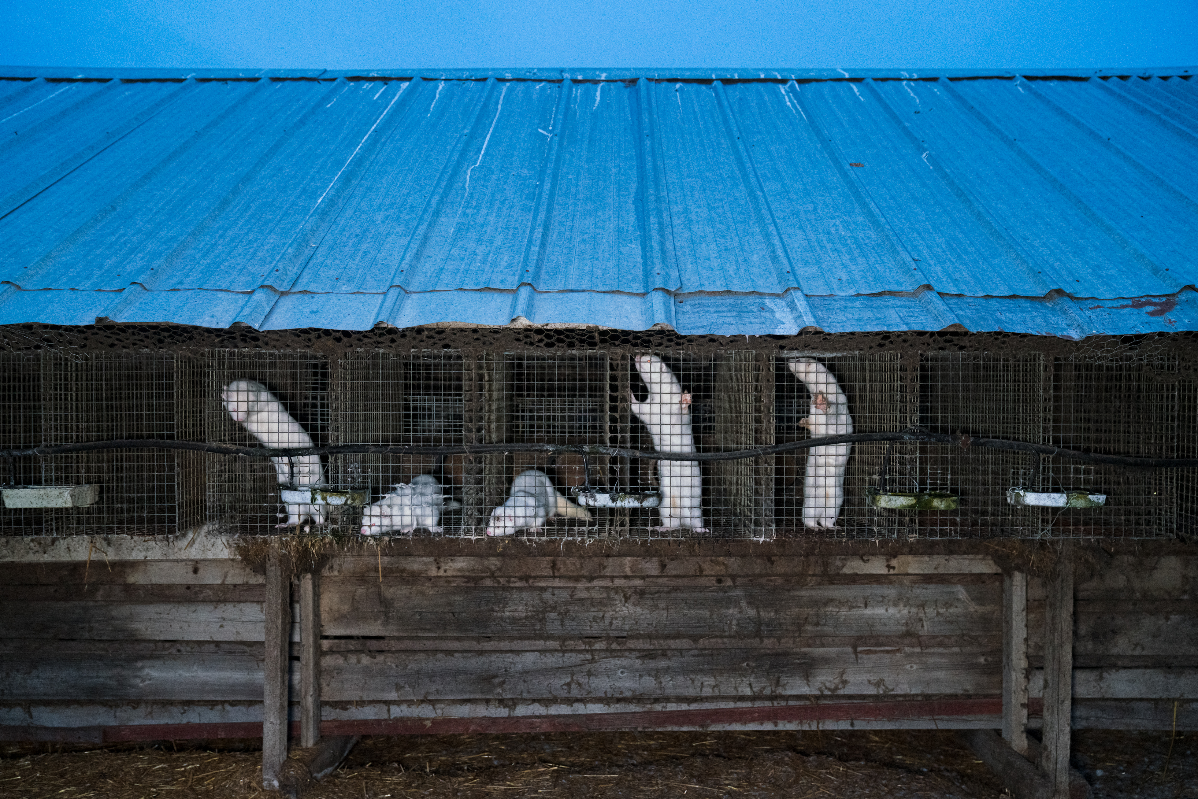 Minks in cage on fur farm in Finland
