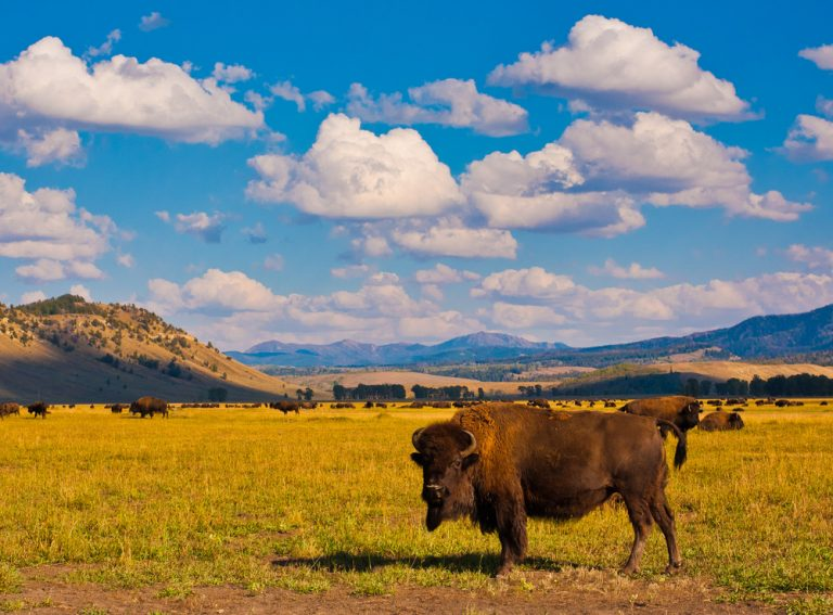 Petition: Protect the Bison of Yellowstone National Park