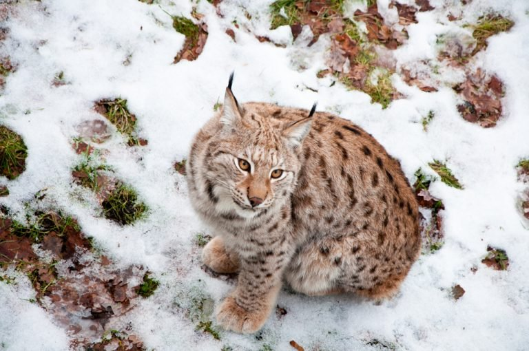 Petition: Protect Swedish Lynx From Hunts Starting in March