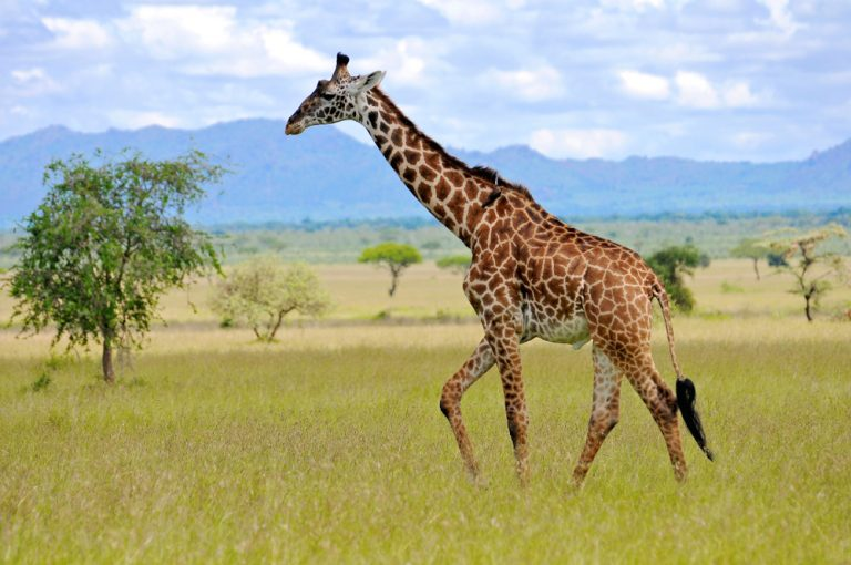 Petition: Stop Giraffe Trophy Hunting in Africa!