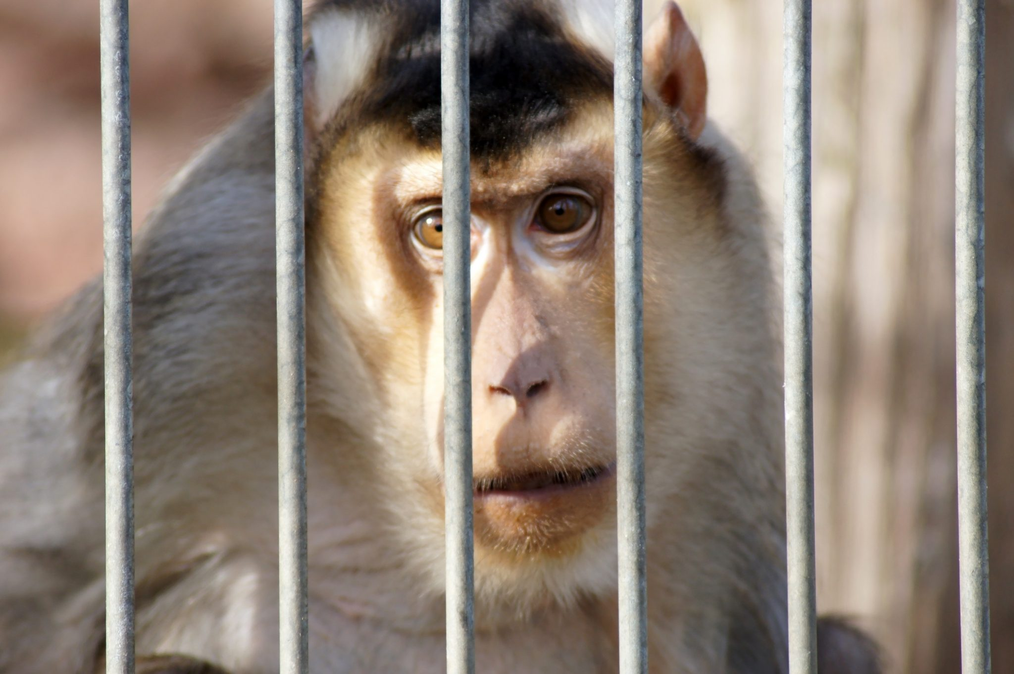 Petition: Monkey Strangled to Death in California Lab