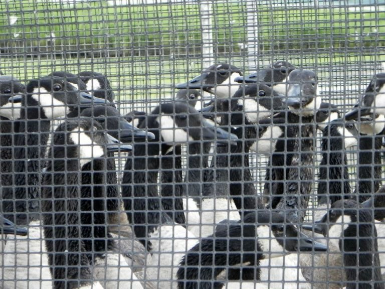 "Stop Canada Geese From Being Slaughtered at a ""Charity Harvest"" in Illinois"
