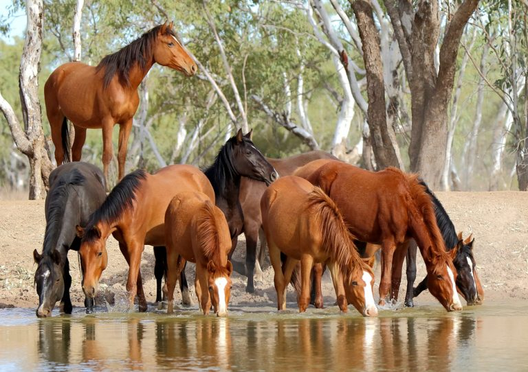 Petition: Australia is Slaughtering Thousands of Wild Horses, Goats, Deer, and Pigs Starting This Month