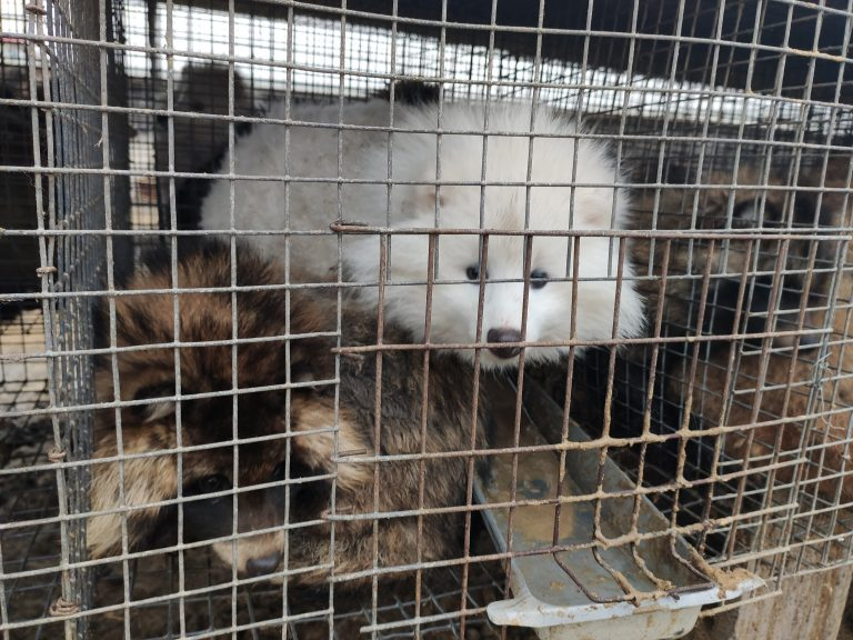 "Petition: Disturbing Footage Described as ""Scene From Hell"" of Animals Suffering at a Fox Fur Farm"