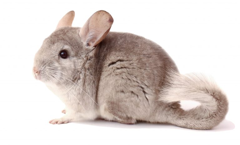 Petition: End the Chinchilla Fur Trade in the U.S. and E.U.