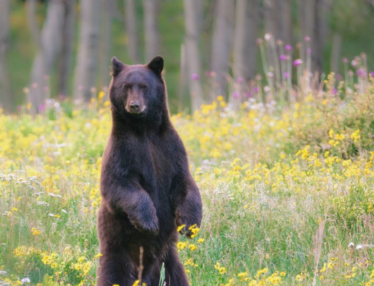 How to Co-Exist with Black Bears