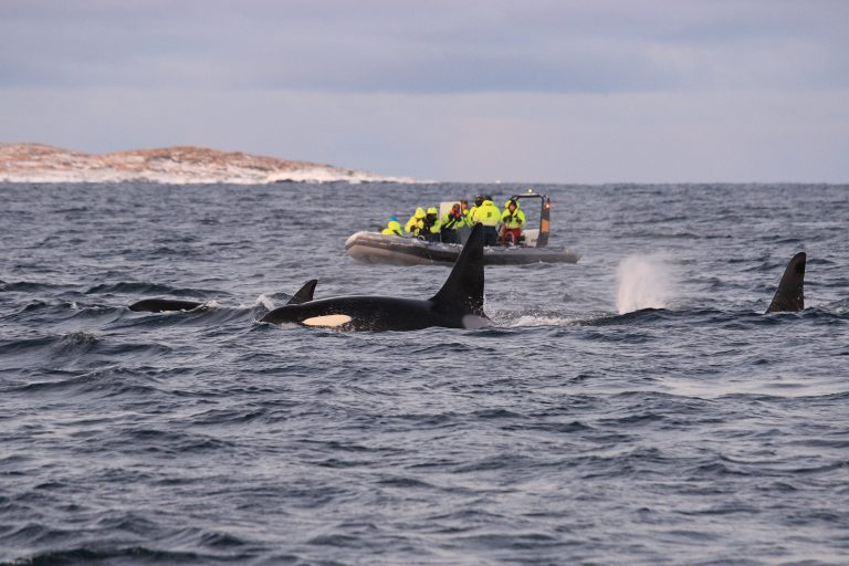 Boaters Getting Too Close to Watch Orcas is Becoming Common Occurrence