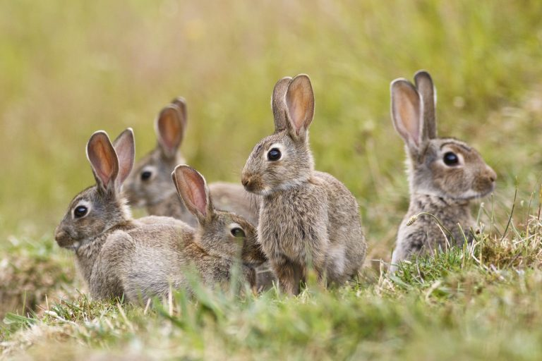 Veterinarians Send Warnings about Ebola-Like Disease Fatal to Rabbits Which Can be Transmitted to People