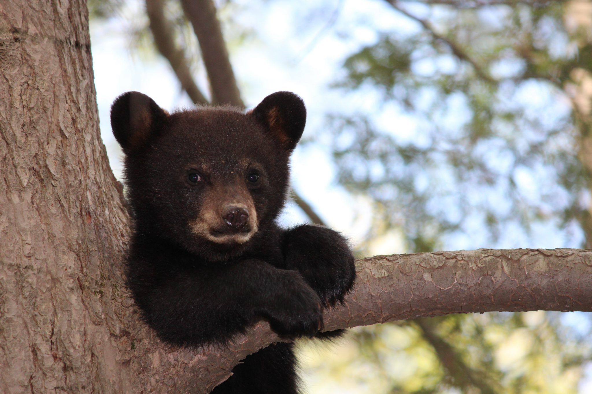 Petition: Stop Black Bear From Getting Euthanized Because Humans Encroached on His Habitat