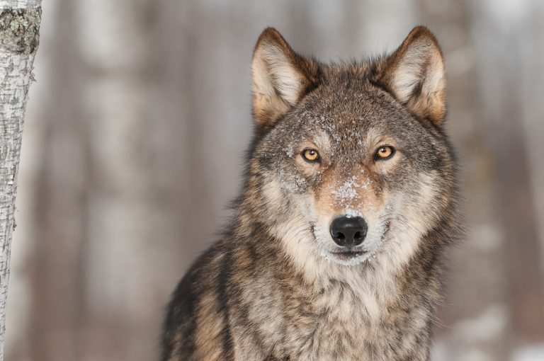 Petition: Keep Gray Wolves Listed as an Endangered Species