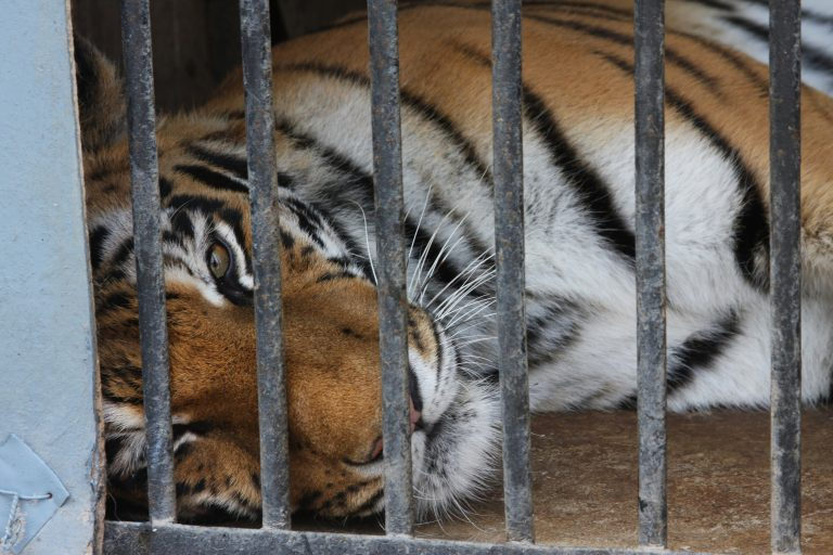 Petition: Woman Grabs Drugged Tiger's Testicles for a Selfie at a Thai Zoo