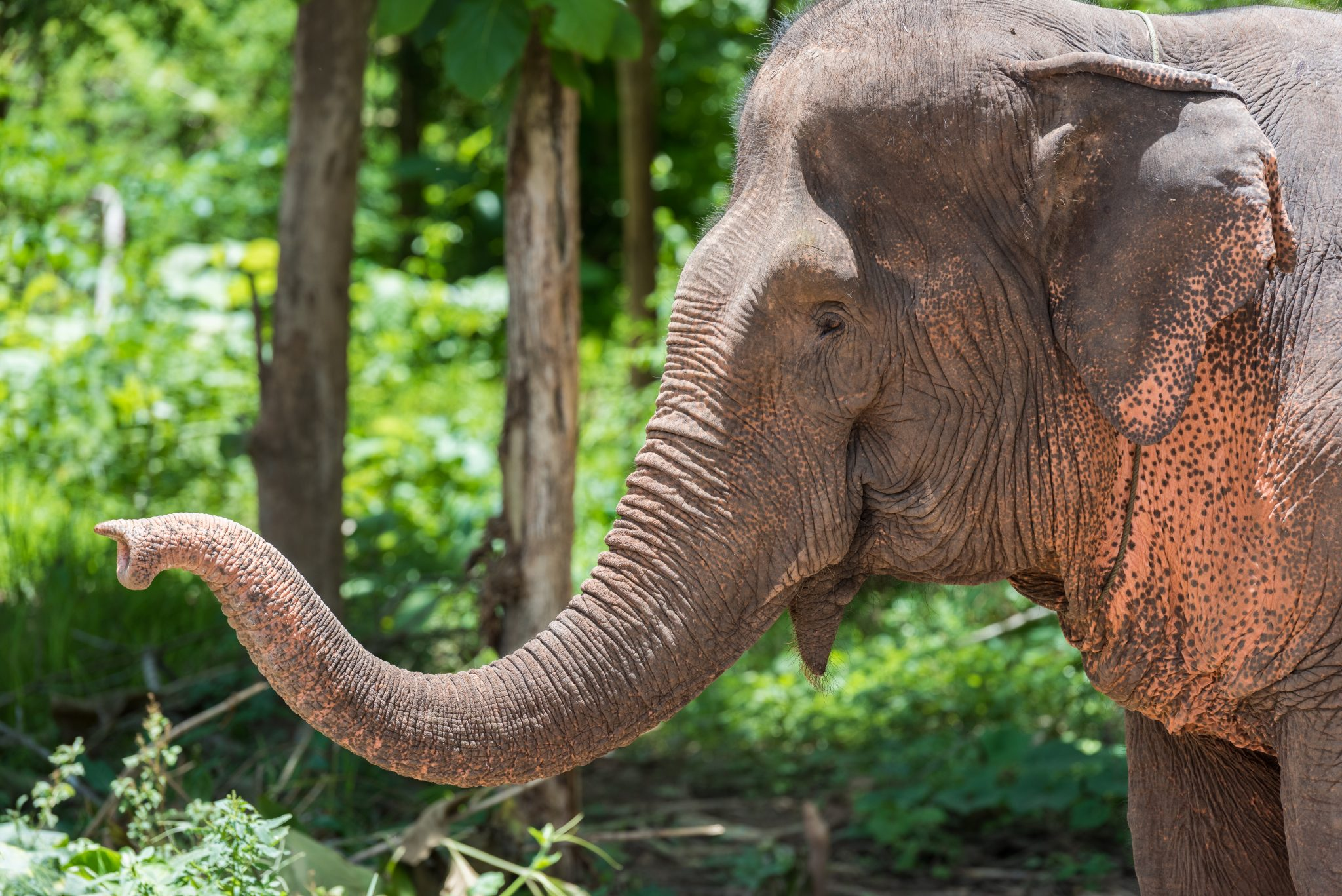 Petition: Tuberculosis Among Captive Elephants is a Threat