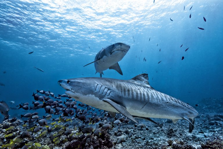 Petition: Half Million Sharks Could be Killed for the Coronavirus Vaccine
