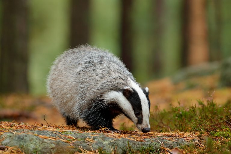 Petition: Stop UK Badger Cull