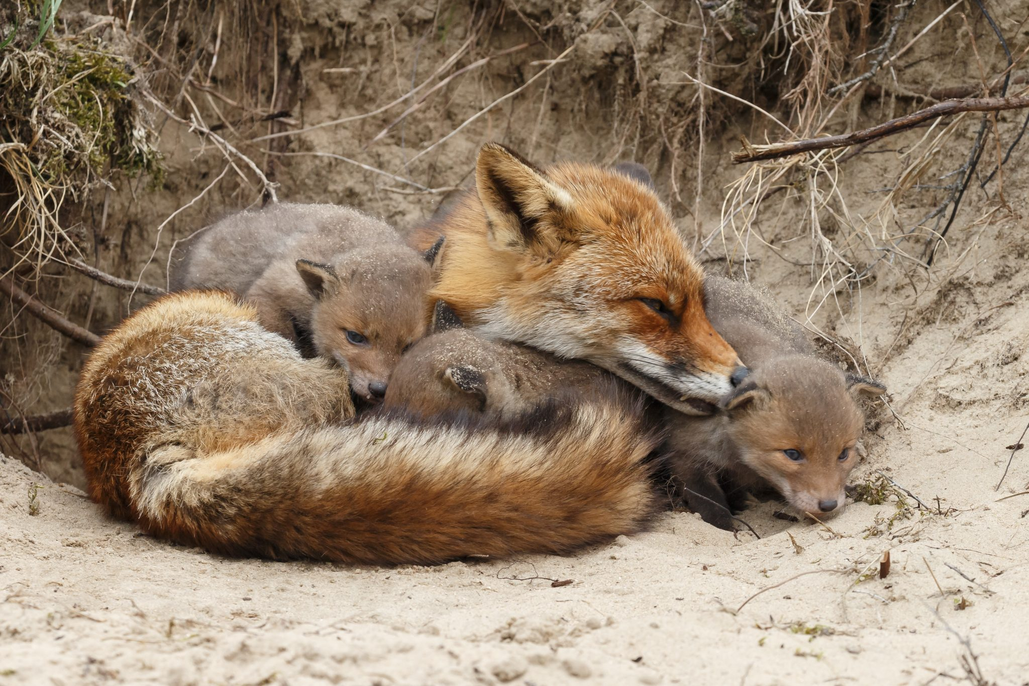 Petition: Ban Fox and Coyote Penning in All 50 States