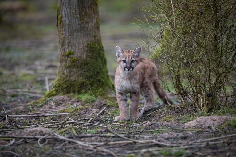 Petition: Three Mountain Lion Cubs Rescued from California Wildfire