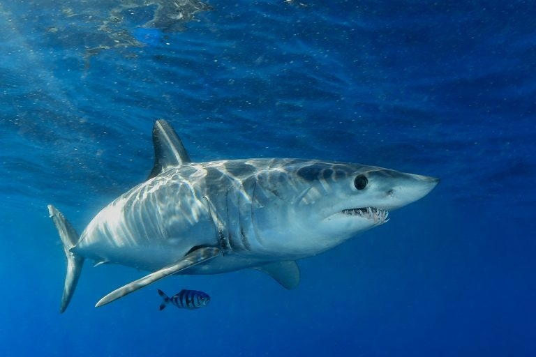 Petition: Reintroduce Shark Fin Sales Elimination Act