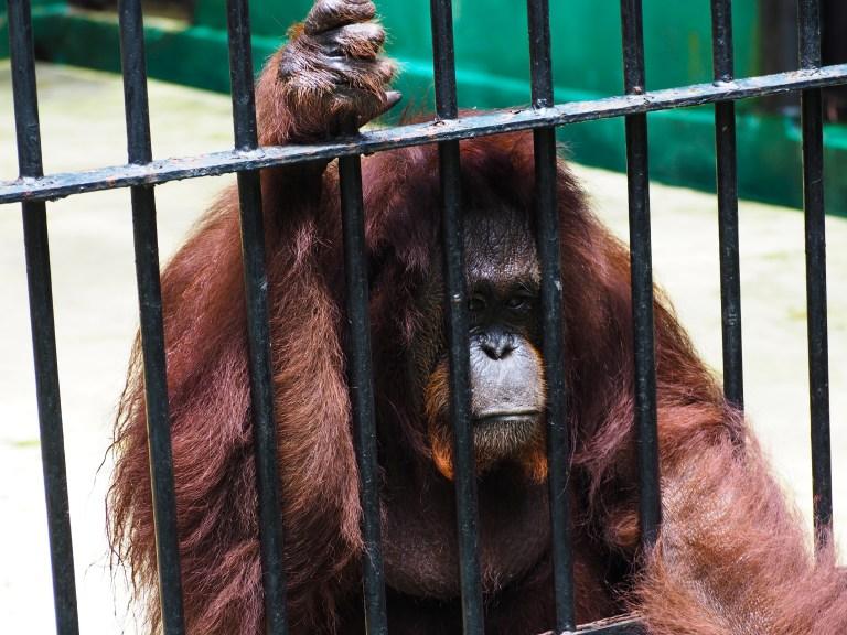 POLL: Should elephant and ape captivity be banned?