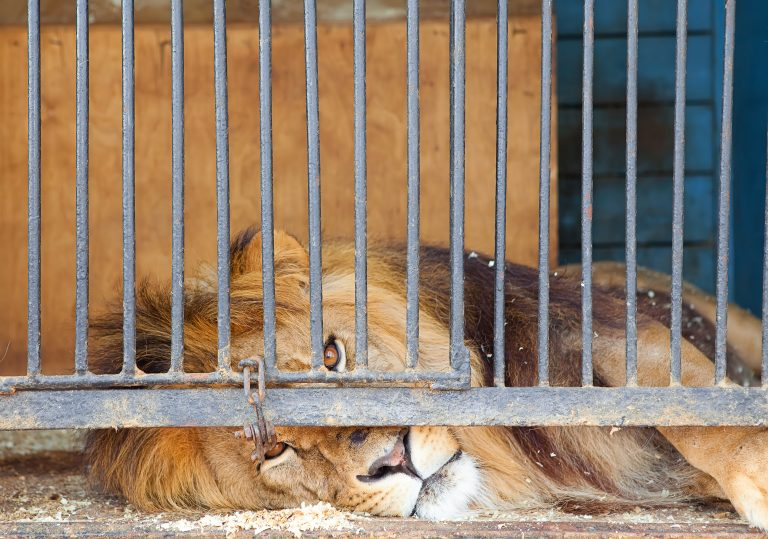 Petition: Severely Malnourished Lion Rescued from Zoo in Nigeria