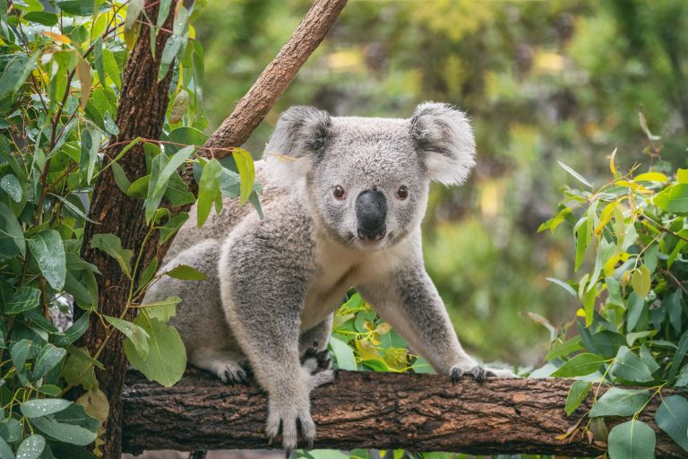 Petition: Maya the Senior Dog Helps Search and Rescue Koalas in Australia