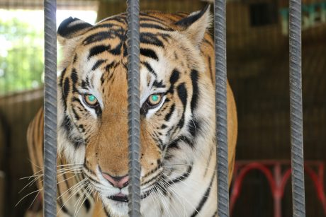 tiger at zoo