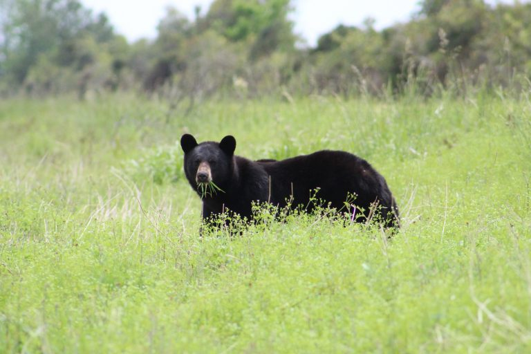 Petition: Missouri Votes to Allow Black Bear Hunting