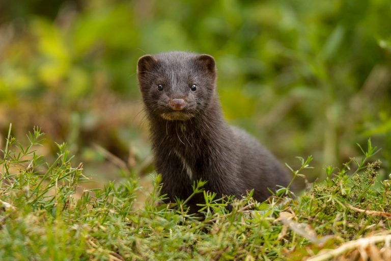 Petition: Wild Mink Tests Positive for Coronavirus in Utah