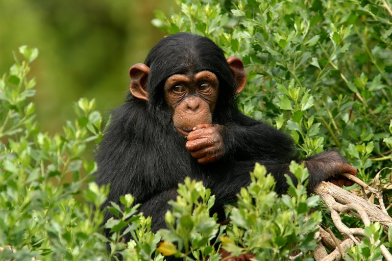 Petition: Protect Chimpanzees from Poachers and Traffickers