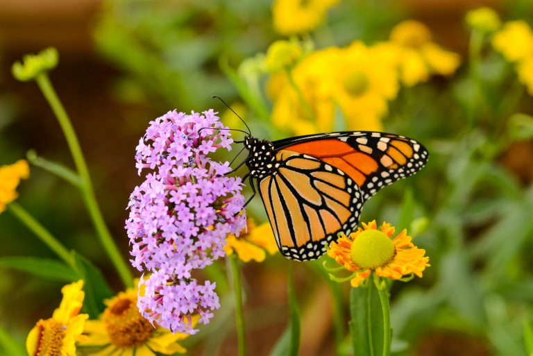 Petition: Monarch Butterfly Denied Protection by Trump Administration