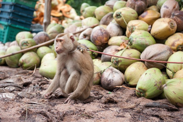 Petition: New Footage of Monkey Labor in Thai Coconut Farms