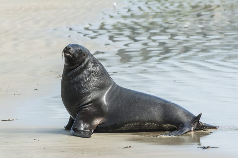 New Zealand Closes Down Road to Help Sea Lion Take Care of Her Pup