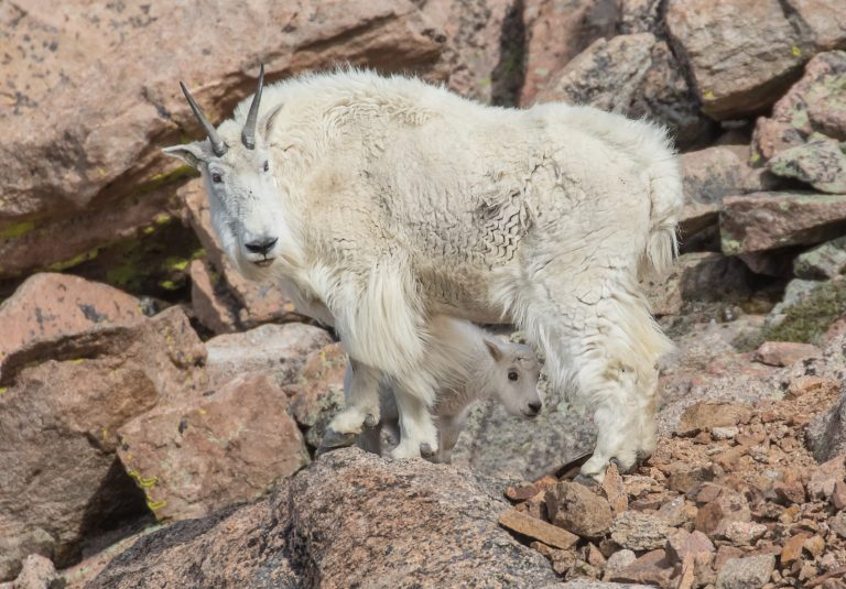 Petition: Mountain Goat in Idaho Injured by Poacher's Crossbow
