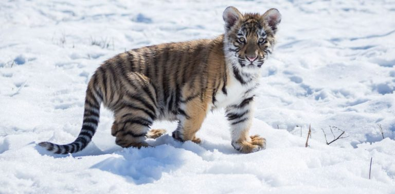 Sanctuary Rescues Pet Tigers, New Born Cub and Lions from Private Backyard After Owner Dies
