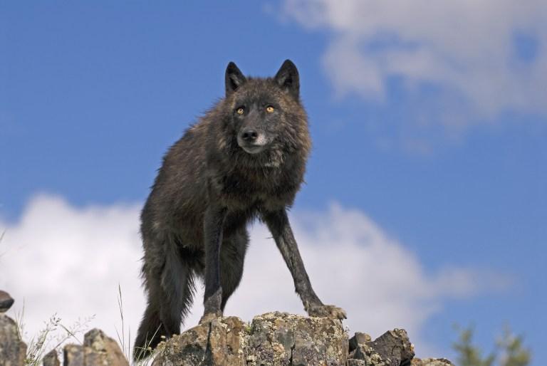 Montana Governor Kills Wolf
