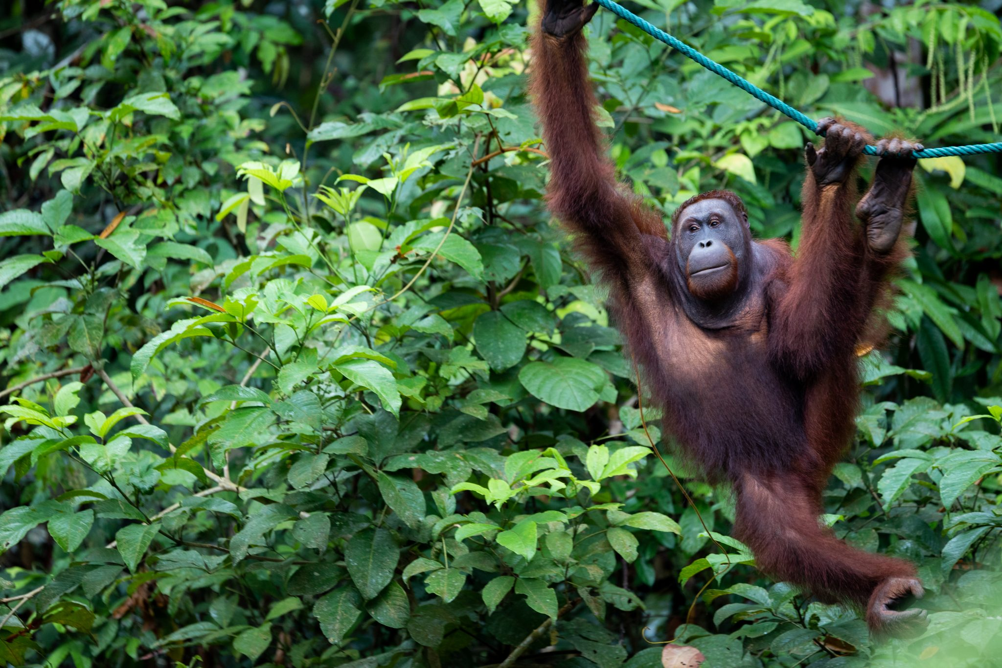 Increased Poaching of Critically Endangered Orangutans During Pandemic