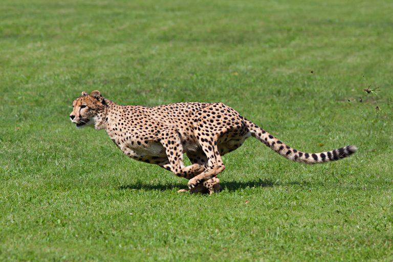 Yet Another Zookeeper Injured After Cheetah Attack