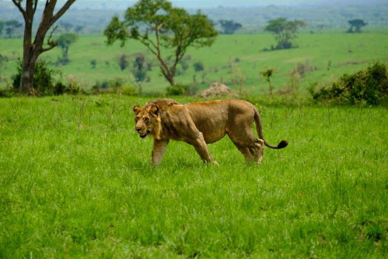 Six Lions Found Dead in Ugandan National Park