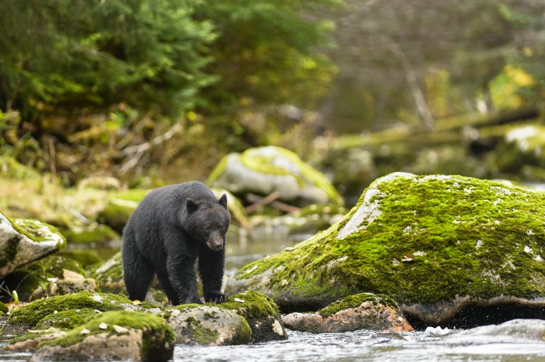 Missouri Approves Dangerously High Quota for Black Bear Hunting