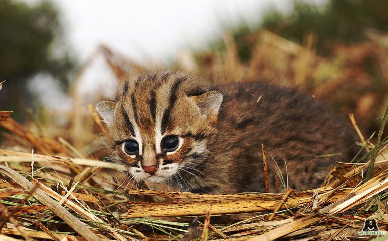 Turning the Spotlight on Asia's Smallest Feline—the Elusive Rusty-Spotted Cat!