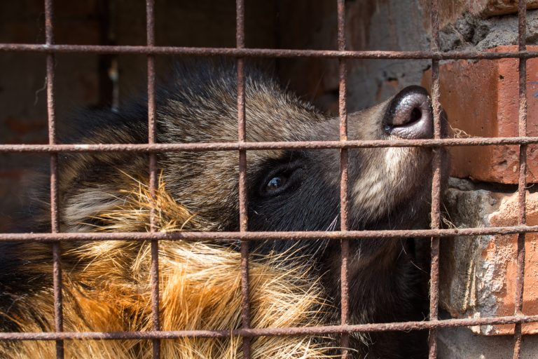 Raccoon Dogs Electrocuted in Fur Farms in China