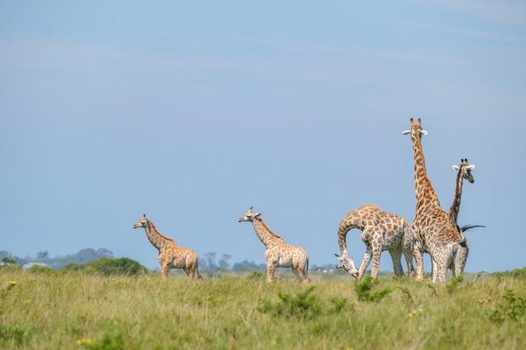 Giraffes Saved from Dangerous Floods